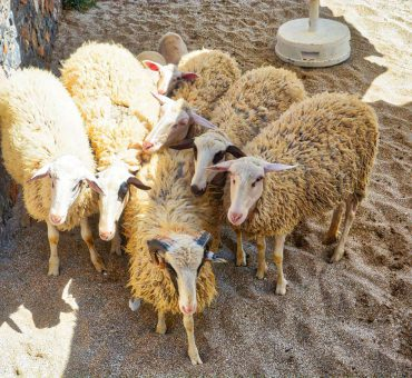 We Do Local: Traditional Sheep Shearing at Creta Maris Beach Resort
