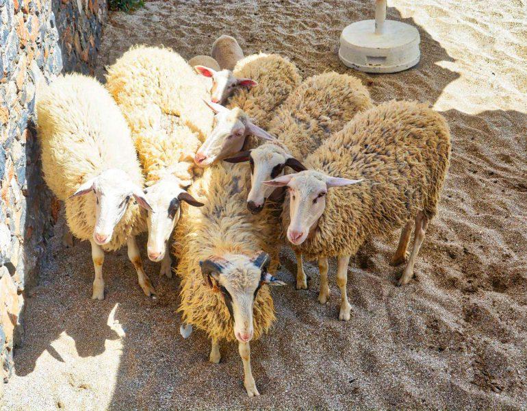 We Do Local: Traditional Sheep Shearing at Creta Maris Beach Resort