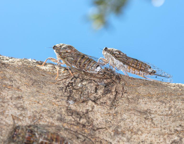 Cicadas – the shrill sound of summer