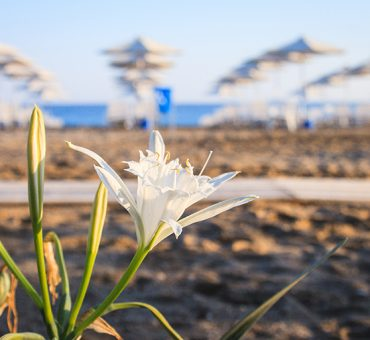 Sea Daffodil: The Protected Sand Lily